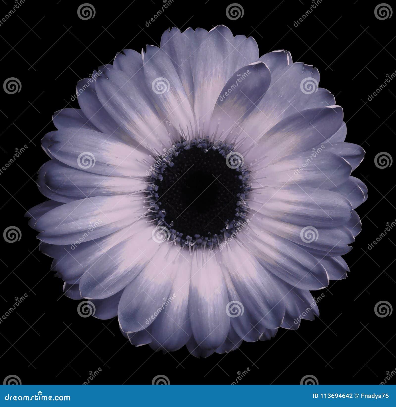 Le Noir Bleu Rose De Fleur De Gerbera A Isole Le Fond Avec Le Chemin