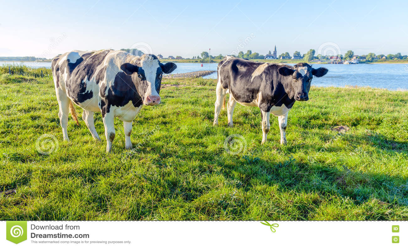 Le noir deux curieusement de regard a repéré des vaches sur la berge