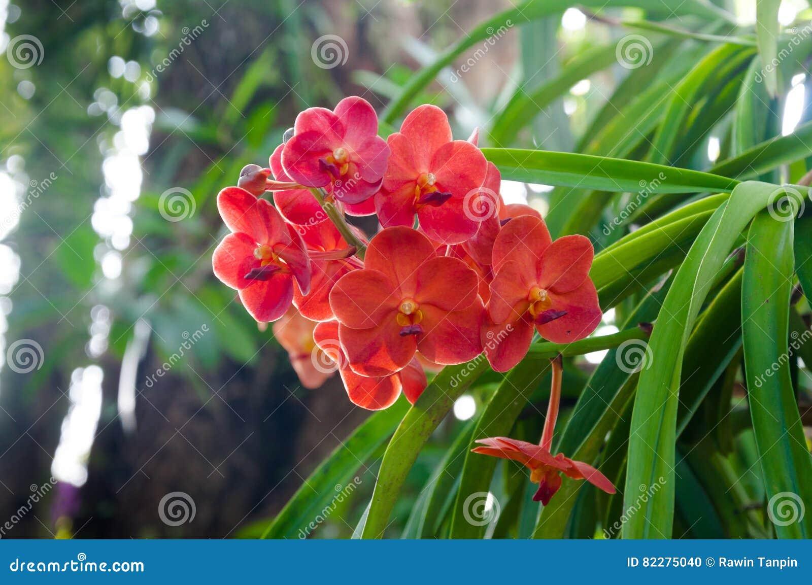 Le orchidee di colore rosso fioriscono vicino su nellambito di