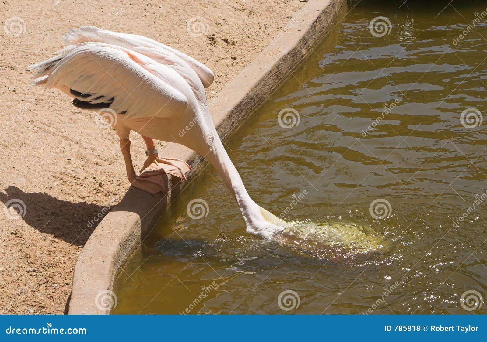 Le pélican recueille l eau