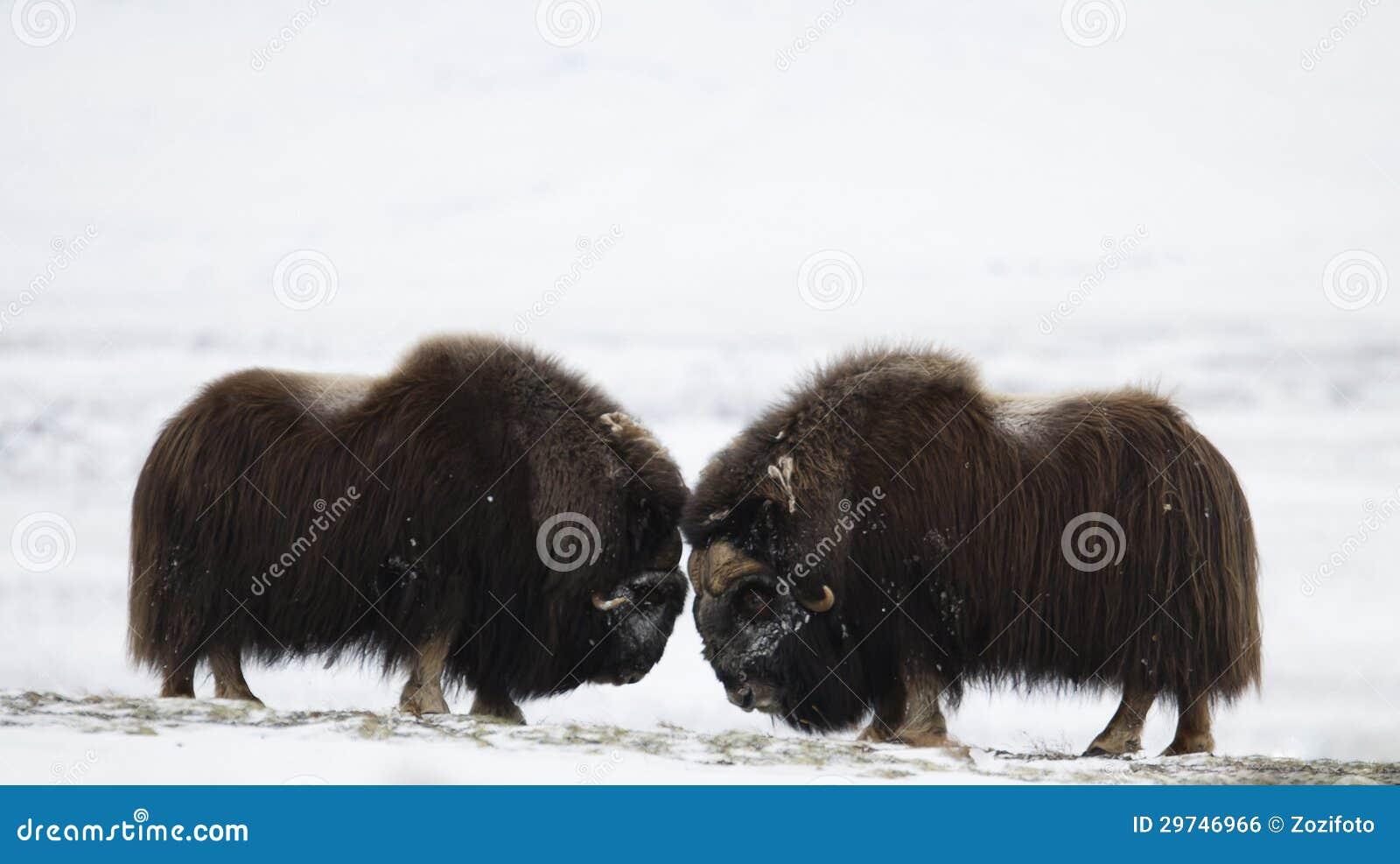 Paia del Muschio-bue di combattimento in Norge