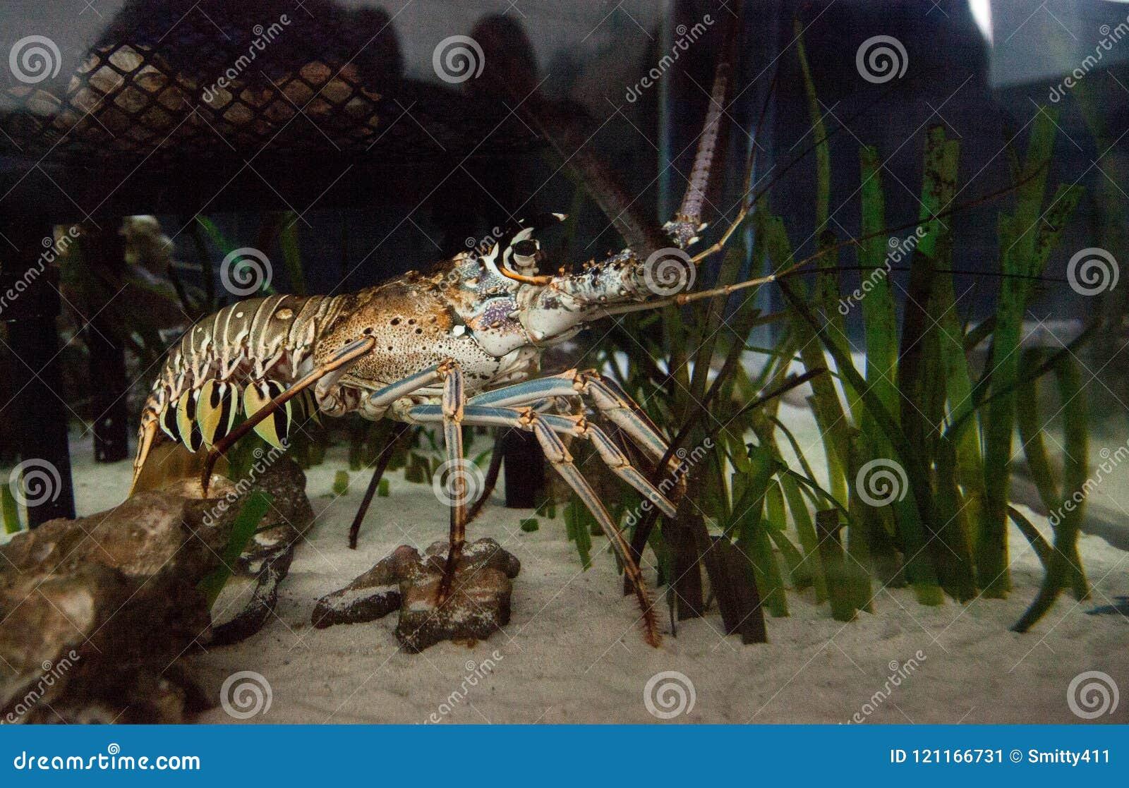 Le Palinuridae également appelé de homard de roche de langouste forage