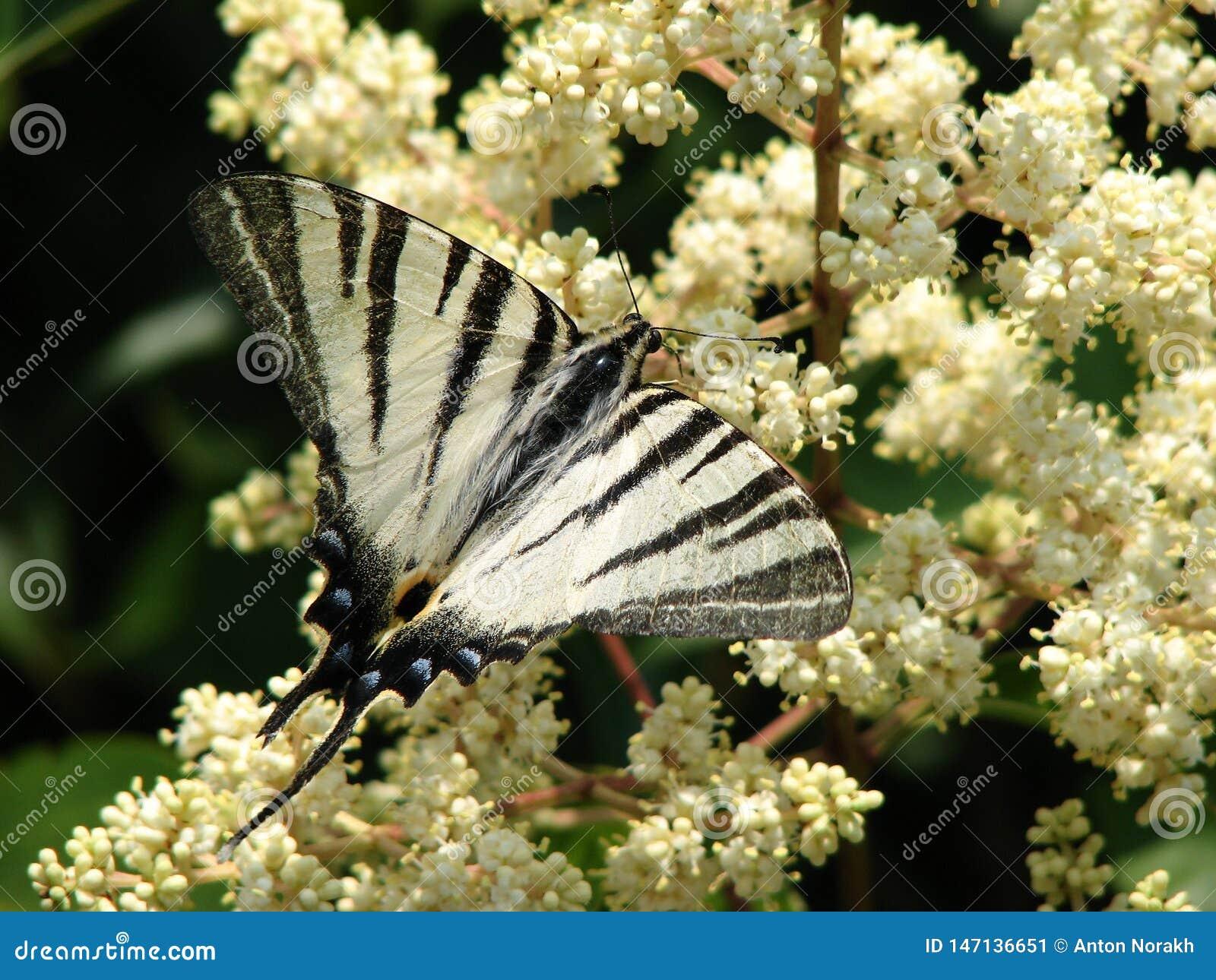 Le papillon alimente sur le nectar