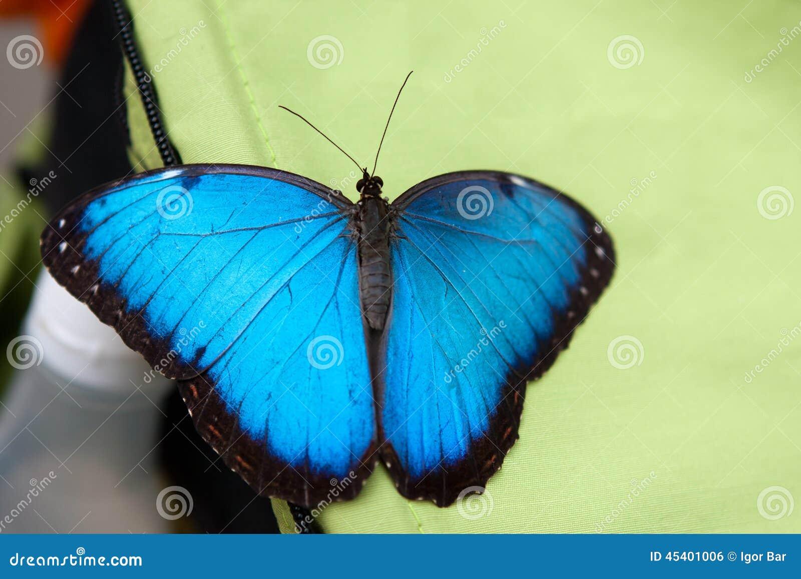 Le papillon de monarque bleu se repose dans le jardin for Papillon jardin botanique 2015