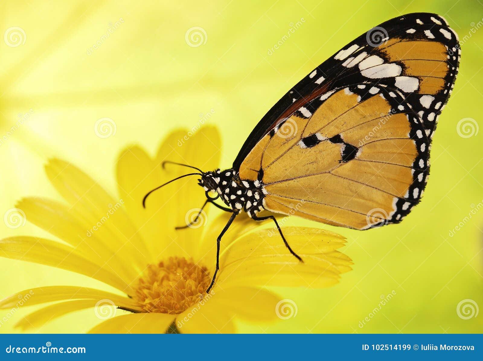 Le papillon de tigre, le chrysippus simples oranges de Danaus, sur une fleur de souci sur le jaune et le vert blured le fond