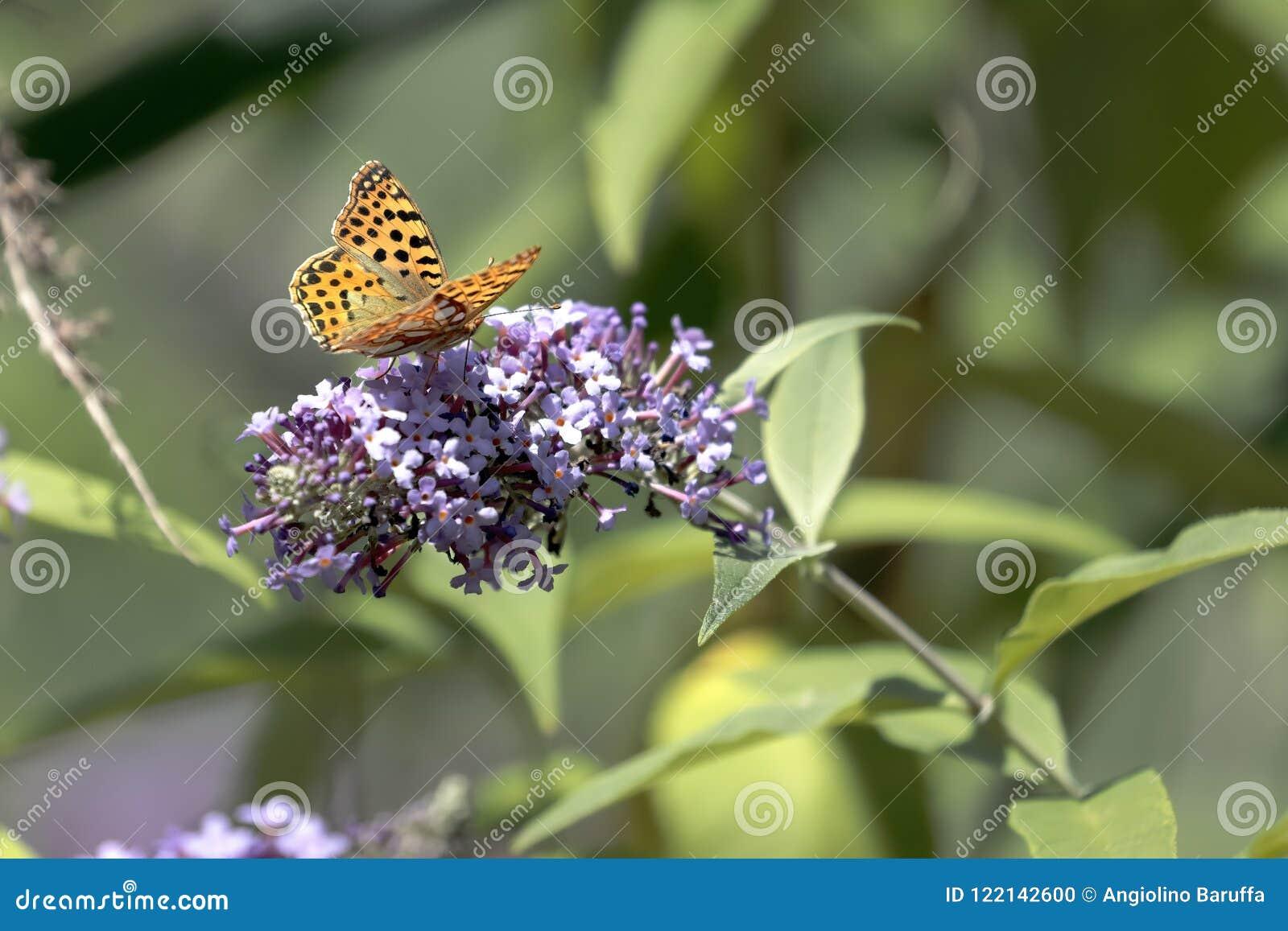 Le papillon Siproeta de malachite stelenessucking le nectar du
