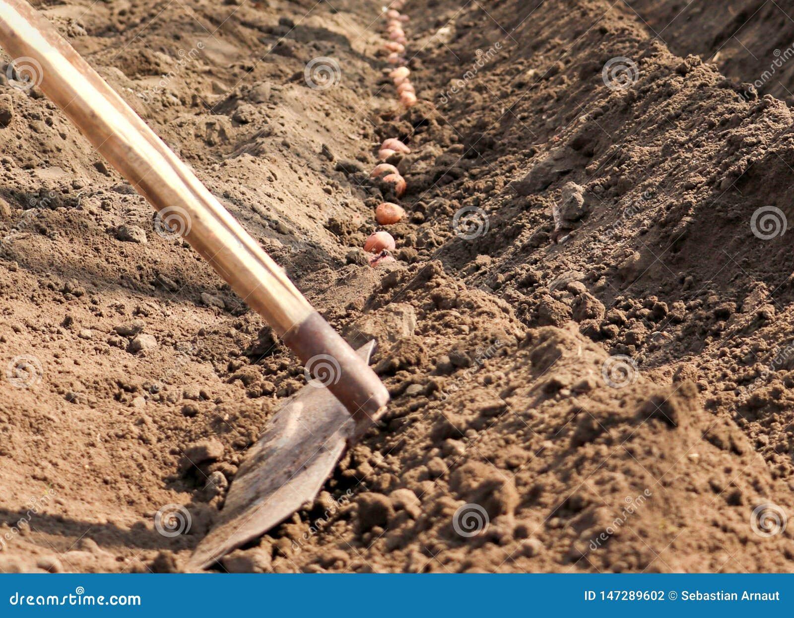 Le patate che sono germogliate sono seminate nella terra