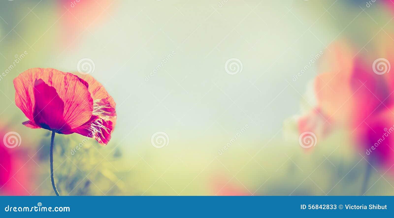 Le pavot fleurit sur le fond brouillé de nature, bannière
