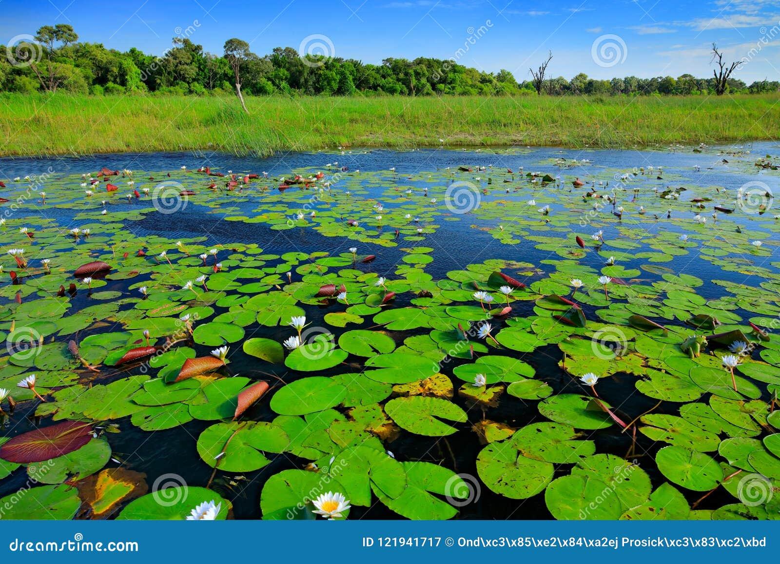 Le paysage africain, nénuphar avec le vert part sur la surface de l eau avec le ciel bleu, delta d Okavango, Moremi, Botswana Riv