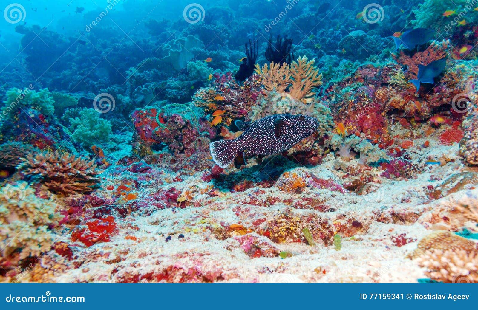 Le paysage sous-marin avec des poissons de boîte s approchent de Coral Reef tropicale