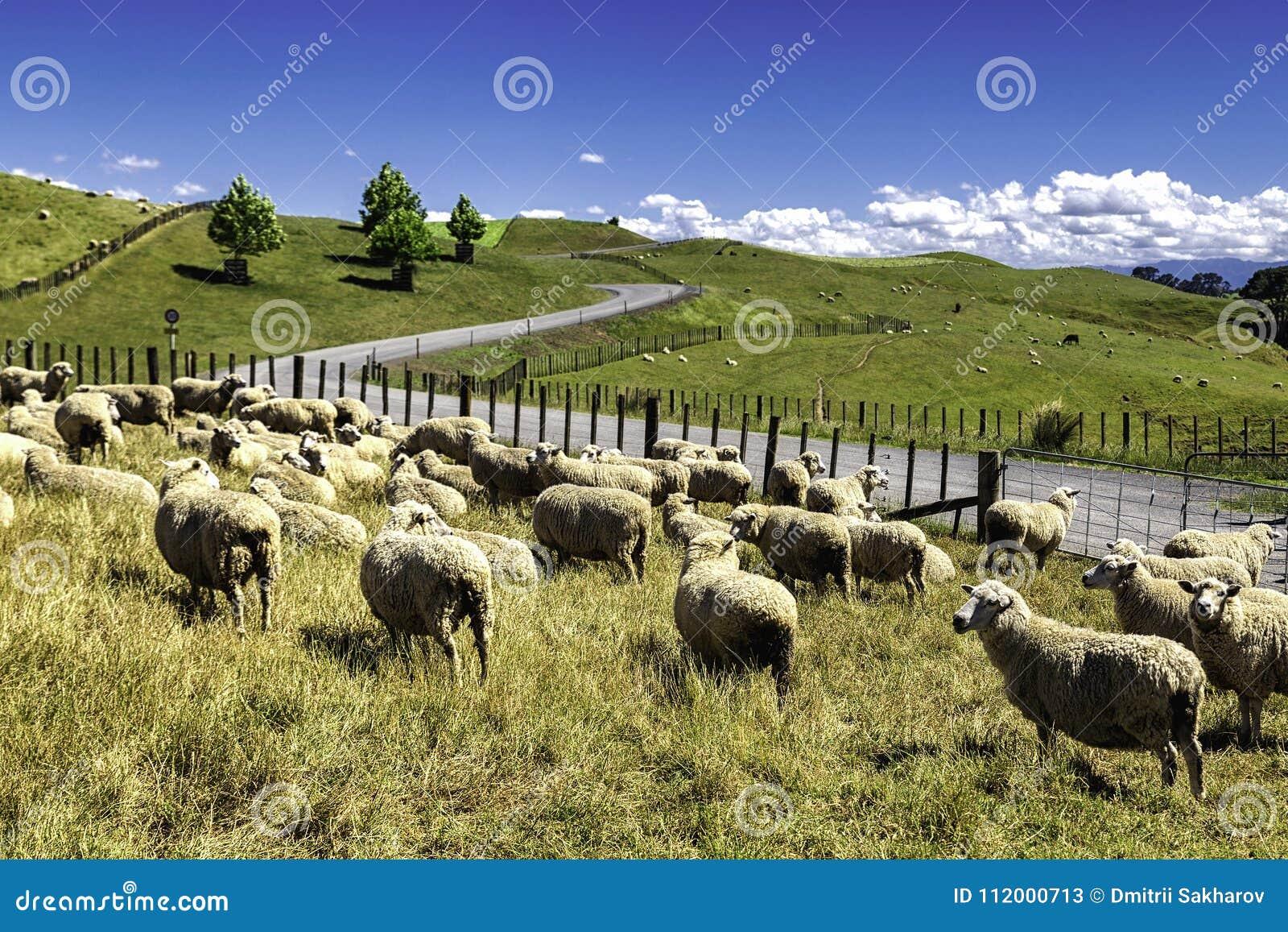 Le pecore della Nuova Zelanda si affollano il pascolo nella collina verde bella