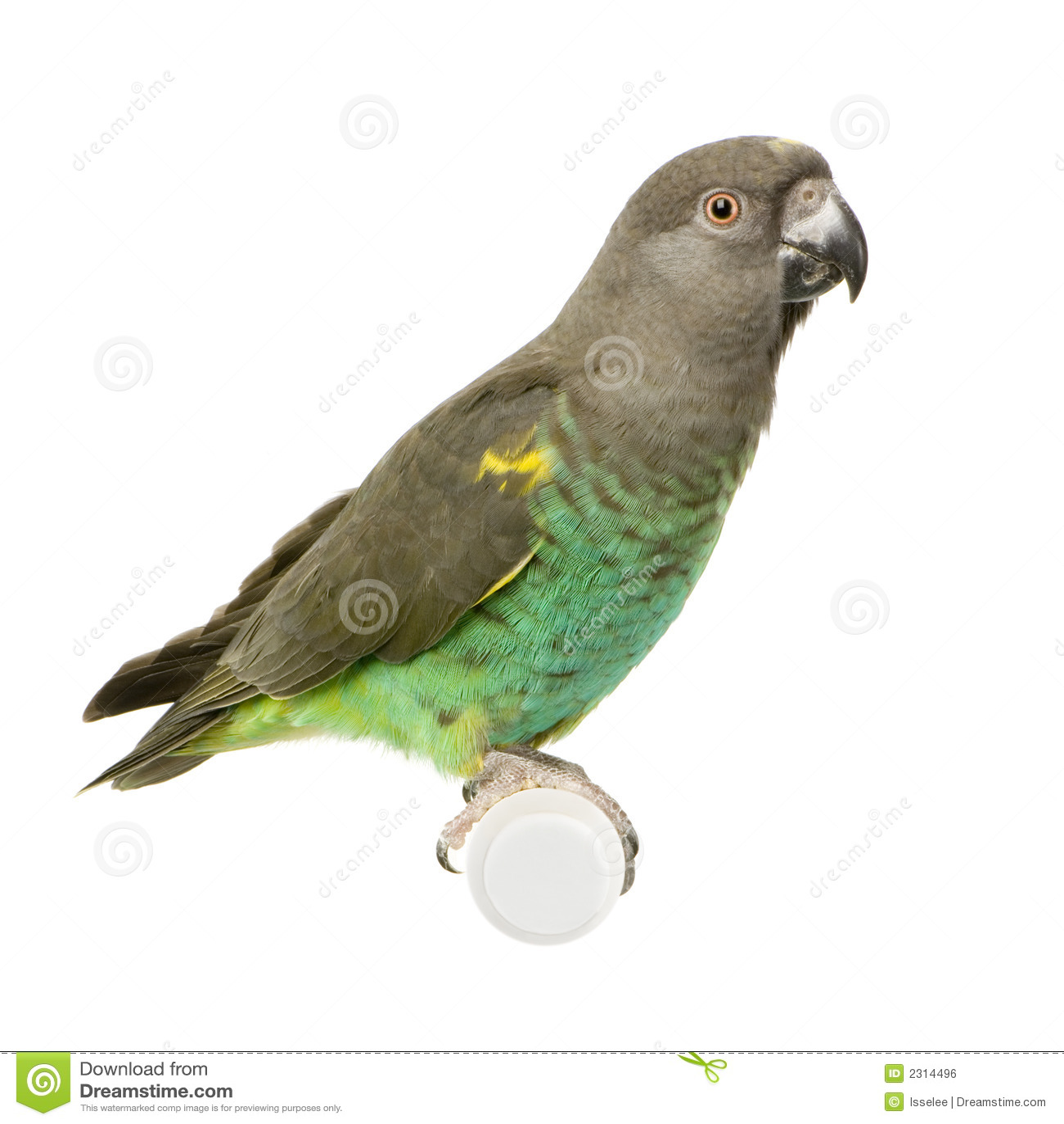 Le perroquet de Meyer