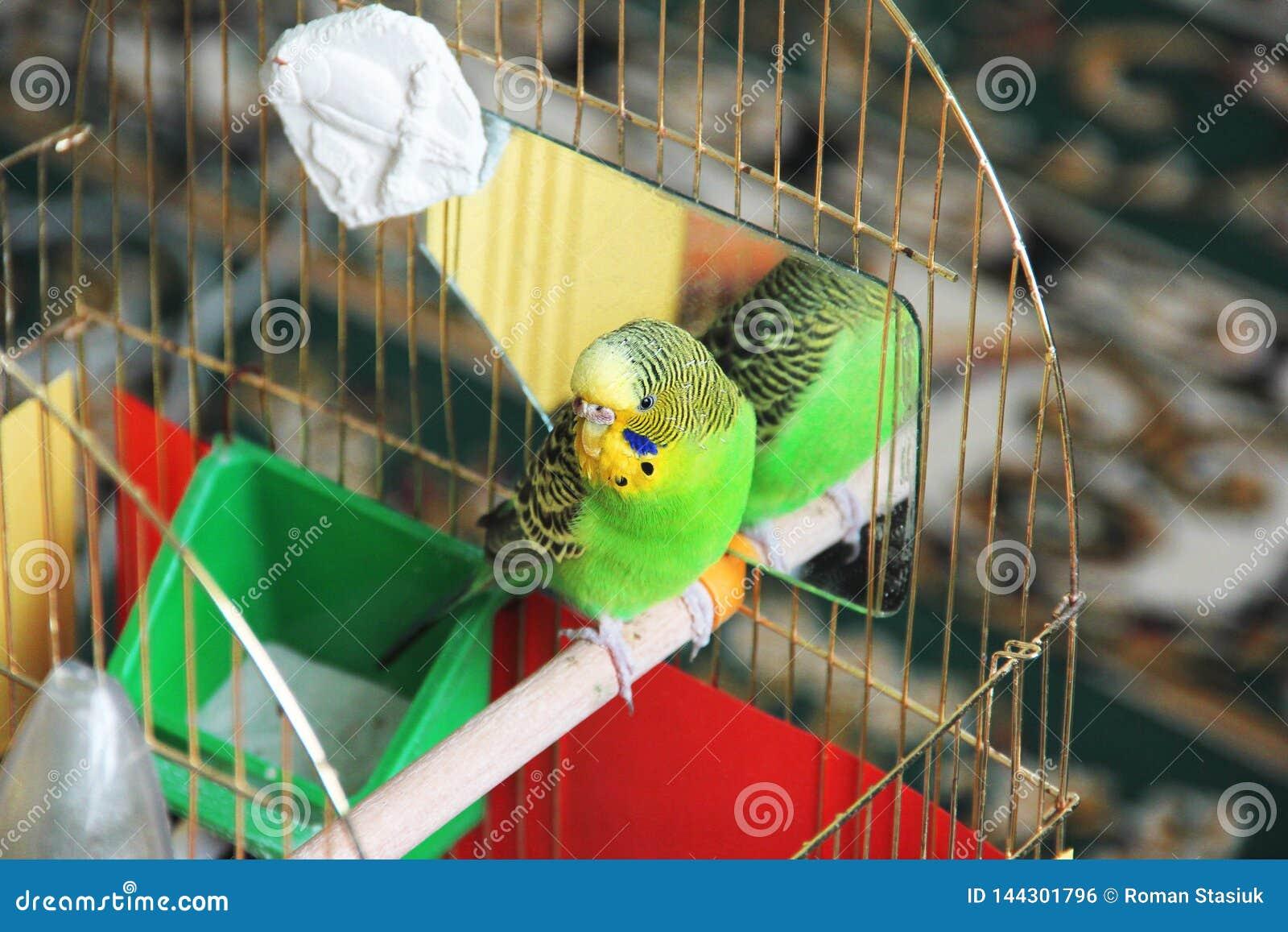 Le perroquet se repose dans une cage budgerigar