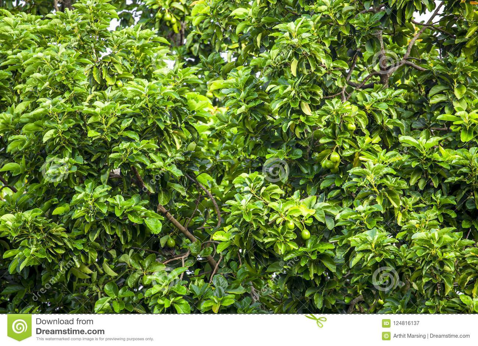 le persea d'avocat americana est un arbre qui est indigène au