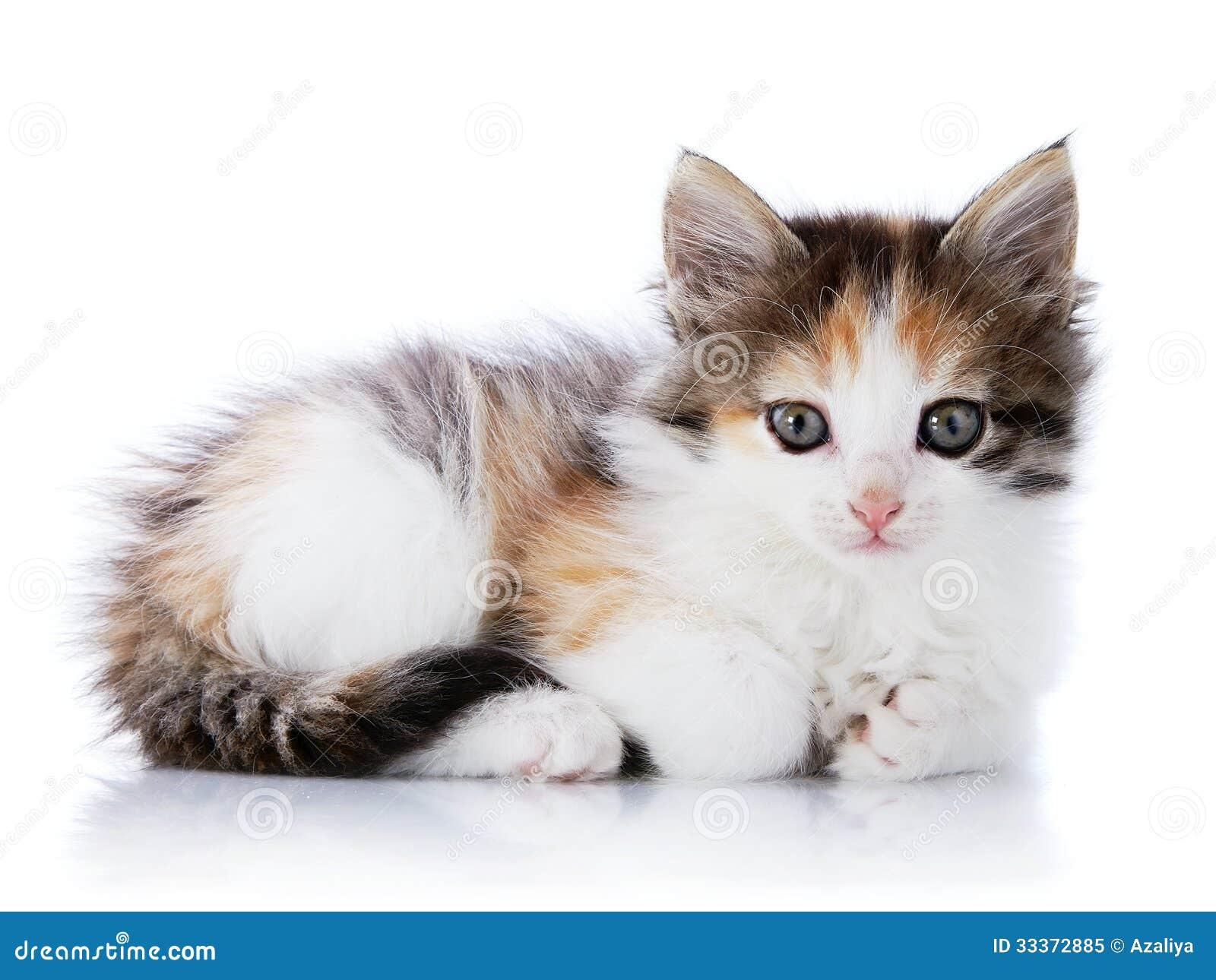 Le petit chat multicolore se trouve sur un fond blanc - Image de petit chat ...
