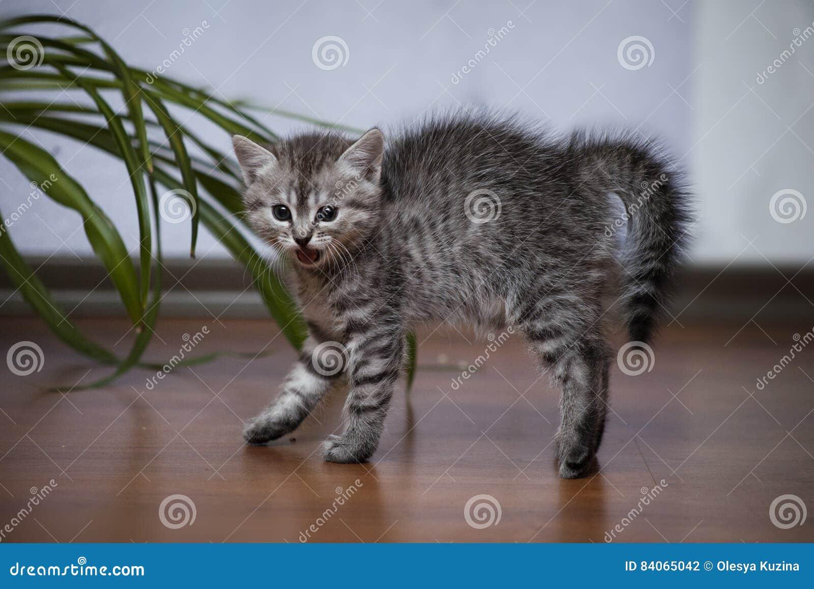 Le petit chaton gris a arqué le sien arrière et sifflé à bouche ouverte
