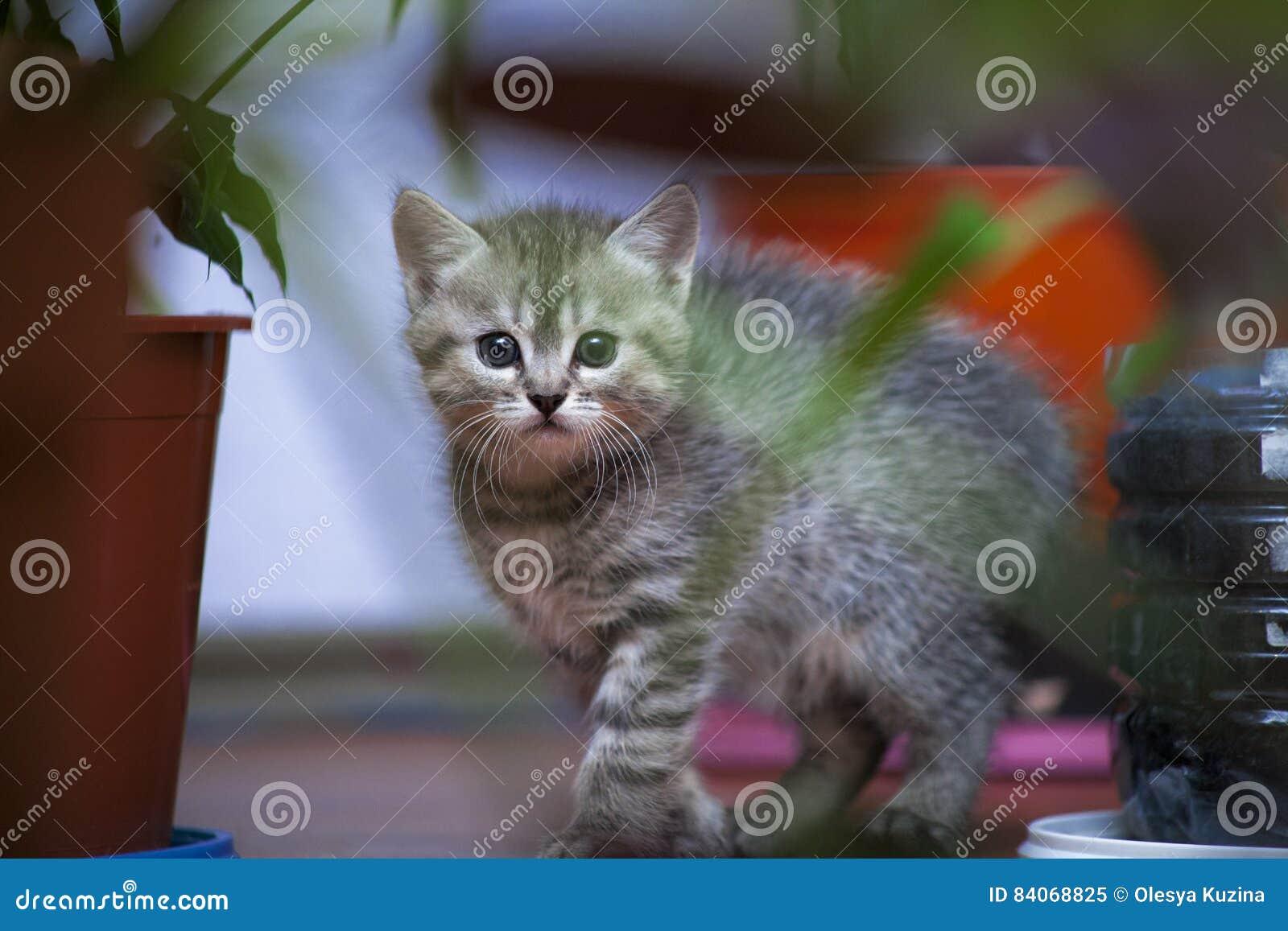 Le petit chaton gris regarde hors des buissons