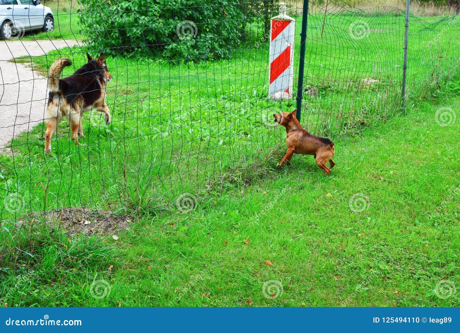 Le Petit Chien Aboie Photo Stock Image Du Nerveux Mâle