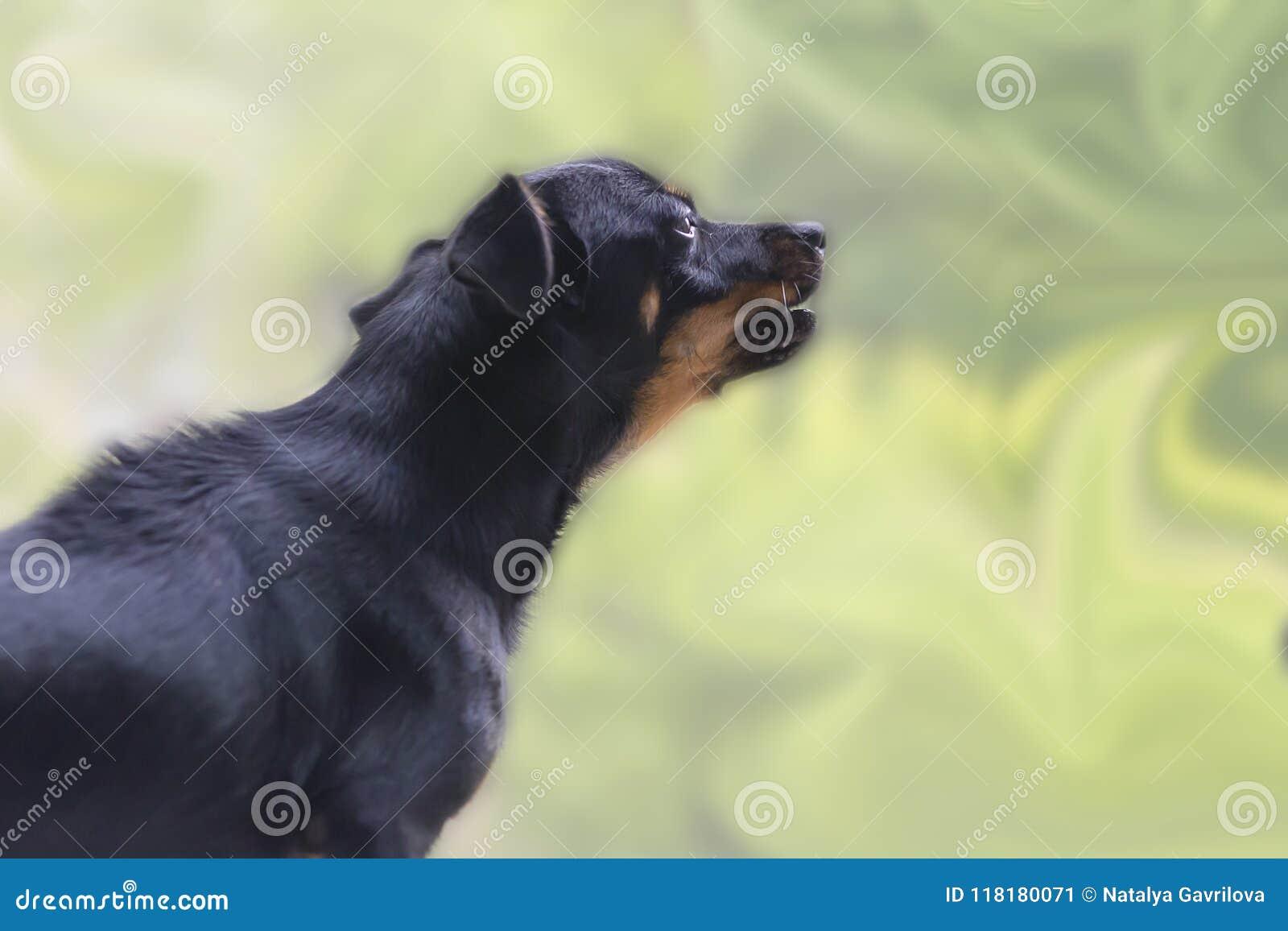 Le petit et noir chien hurle sur la fenêtre