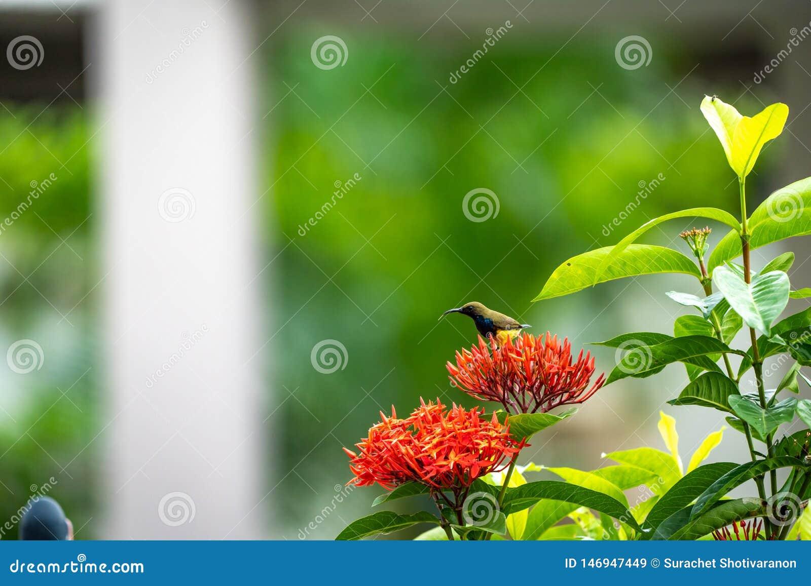 Le petit oiseau minuscule est tenant et mangeant le carpelle de la fleur rouge de transitoire