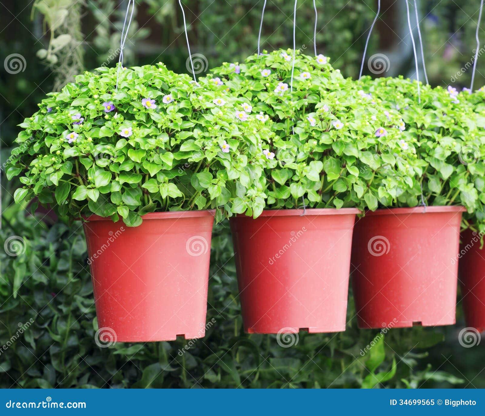 le petit pourpre fleurit la plante tropicale d 39 exacum dans un pot image stock image du. Black Bedroom Furniture Sets. Home Design Ideas