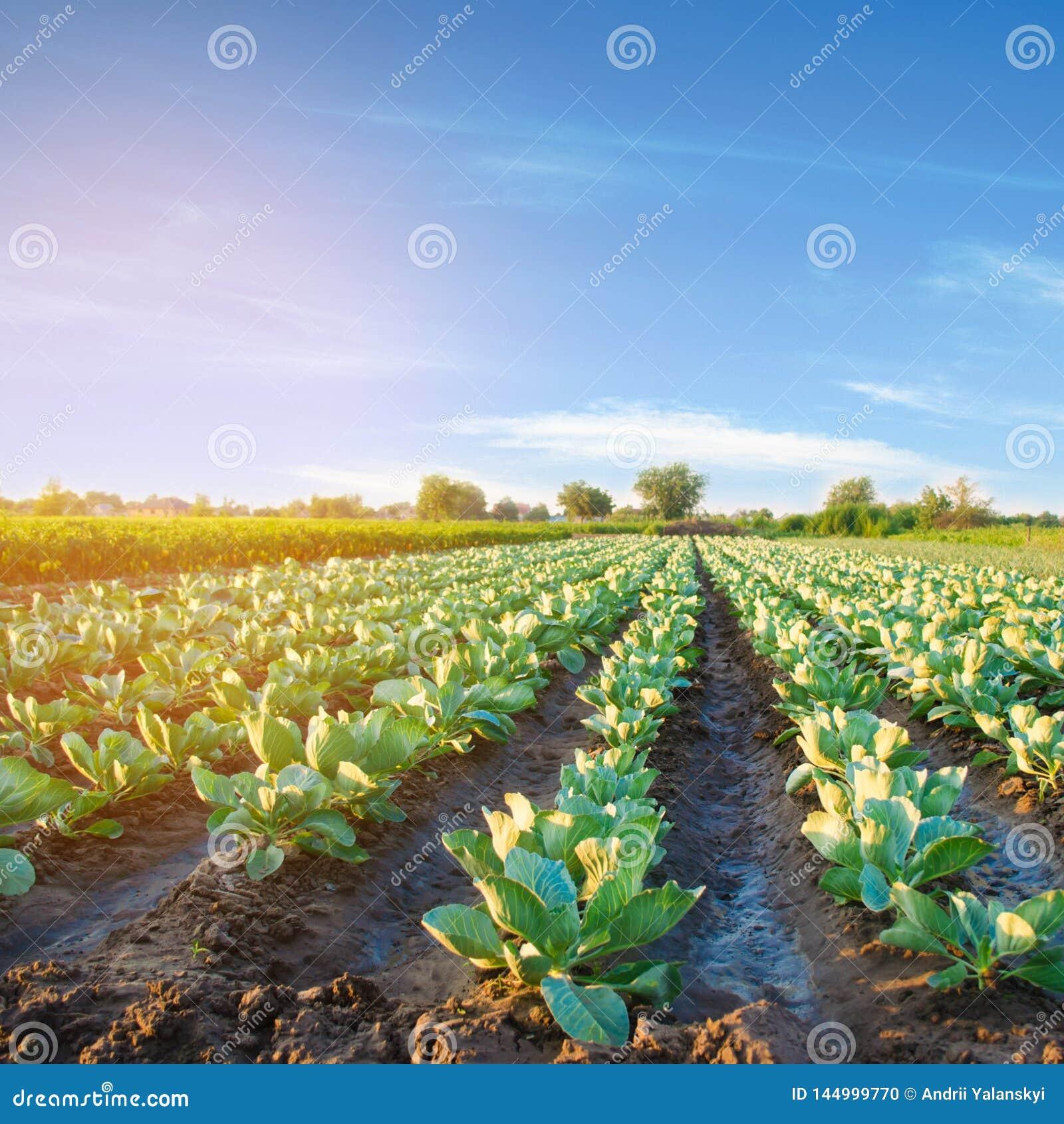 Le piantagioni del cavolo si sviluppano nel campo file di verdure Agricoltura, agricoltura Paesaggio con terreno agricolo crops