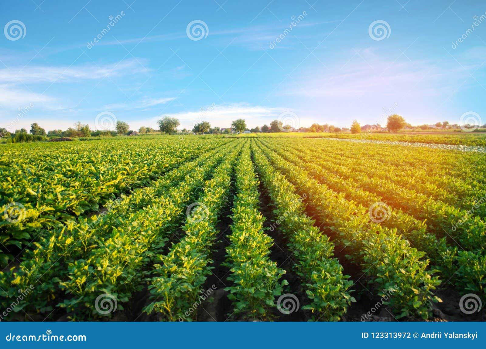 Le piantagioni della patata si sviluppano nel campo file di verdure Agricoltura, agricoltura Paesaggio con terreno agricolo crops