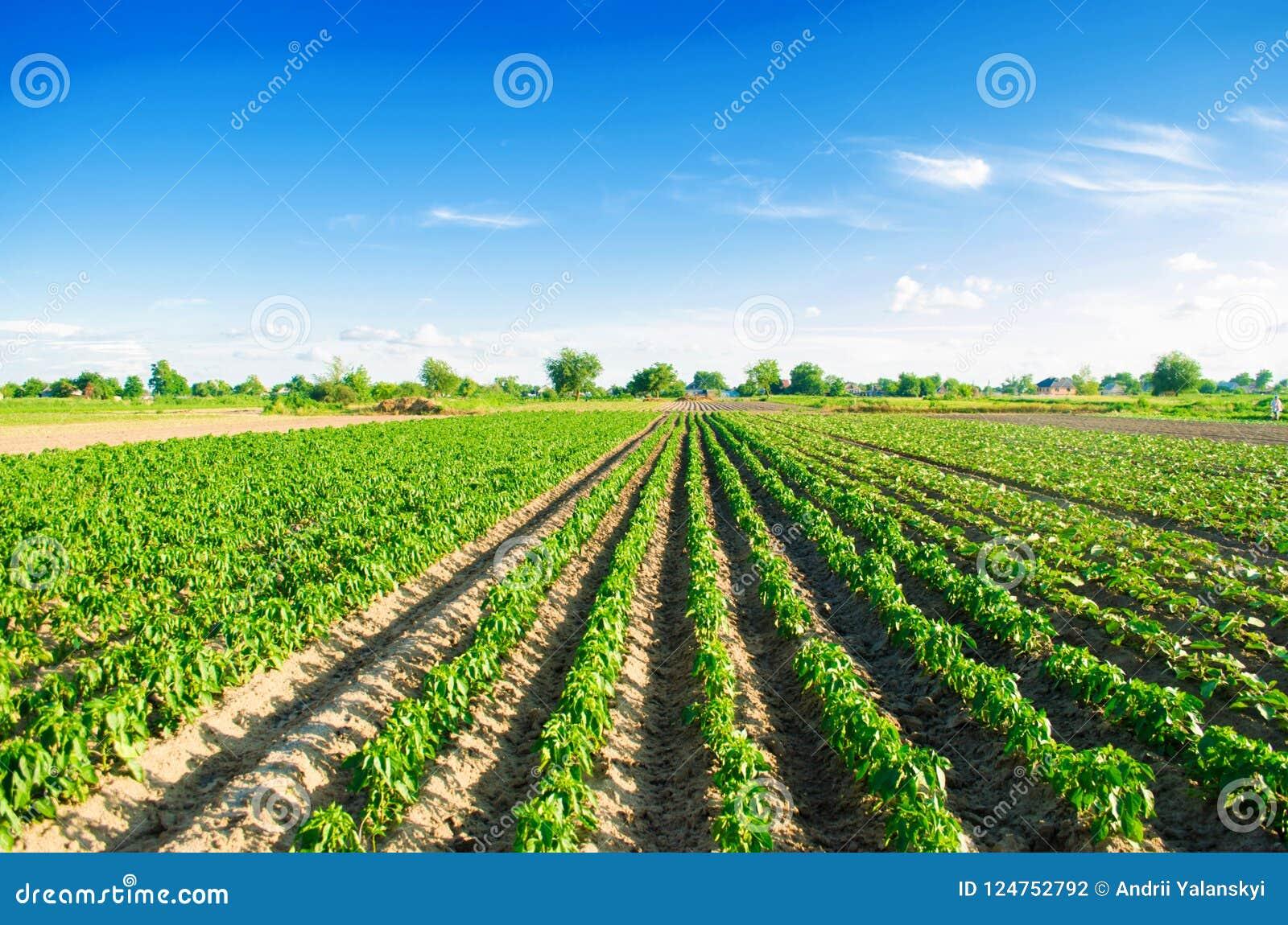 Le piantagioni di pepe si sviluppano nel campo file di verdure Agricoltura, agricoltura Paesaggio con terreno agricolo crops