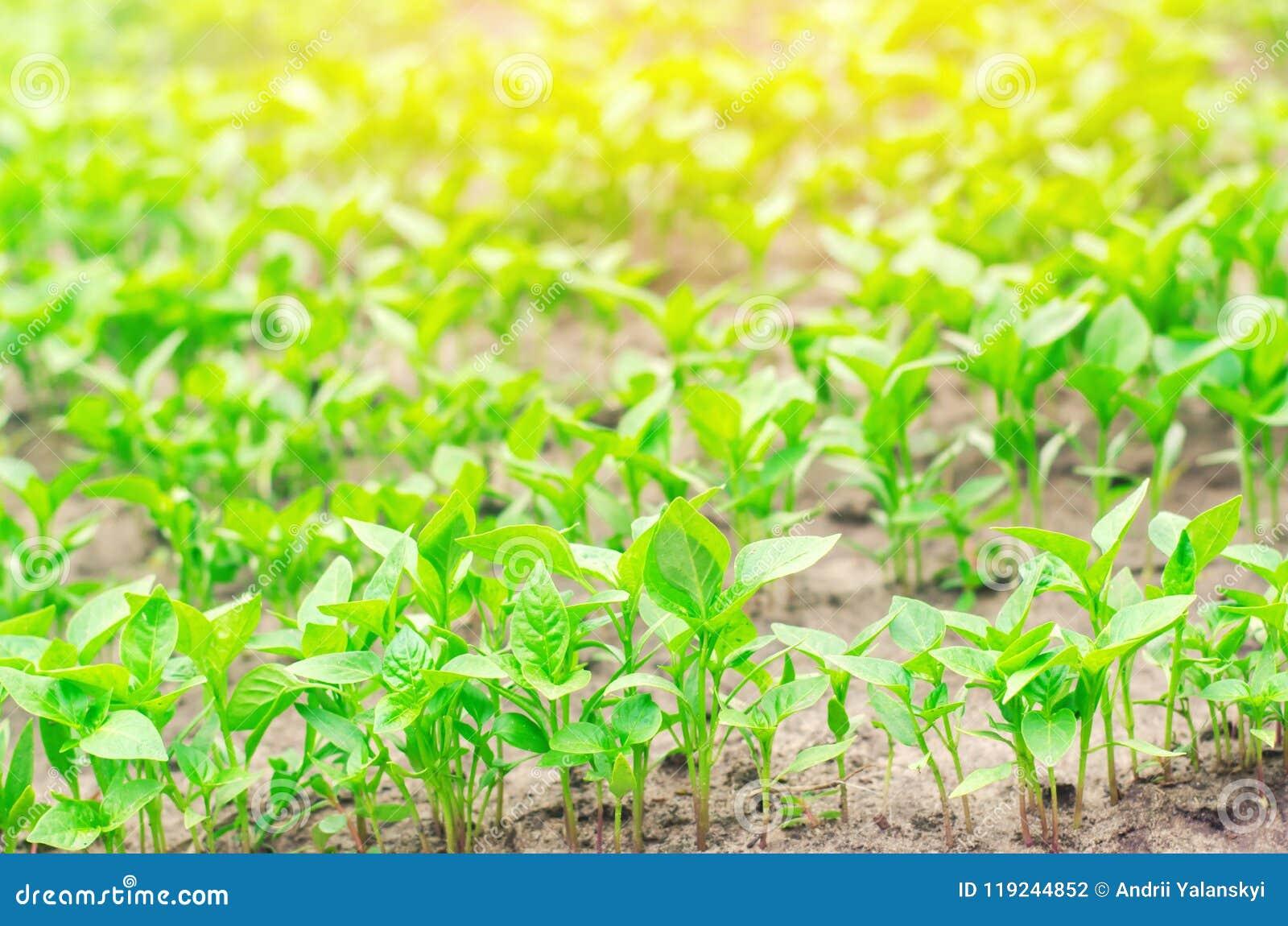 Le piantine del peperone verde nella serra, aspettano per trapianto nel campo, coltivando, l agricoltura, le verdure, agricu ecol