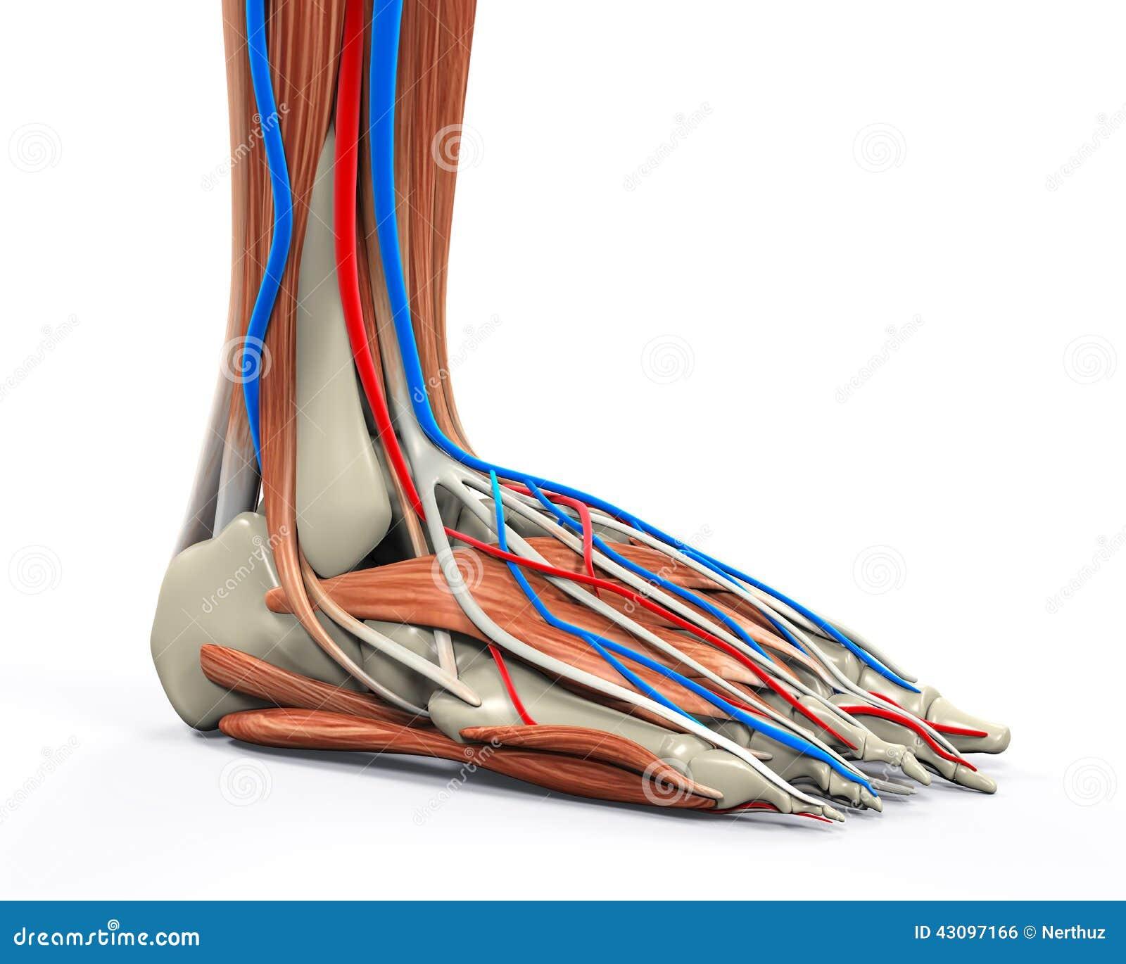 Anatomie Du Pied 3D le pied humain muscles l'anatomie illustration stock - illustration
