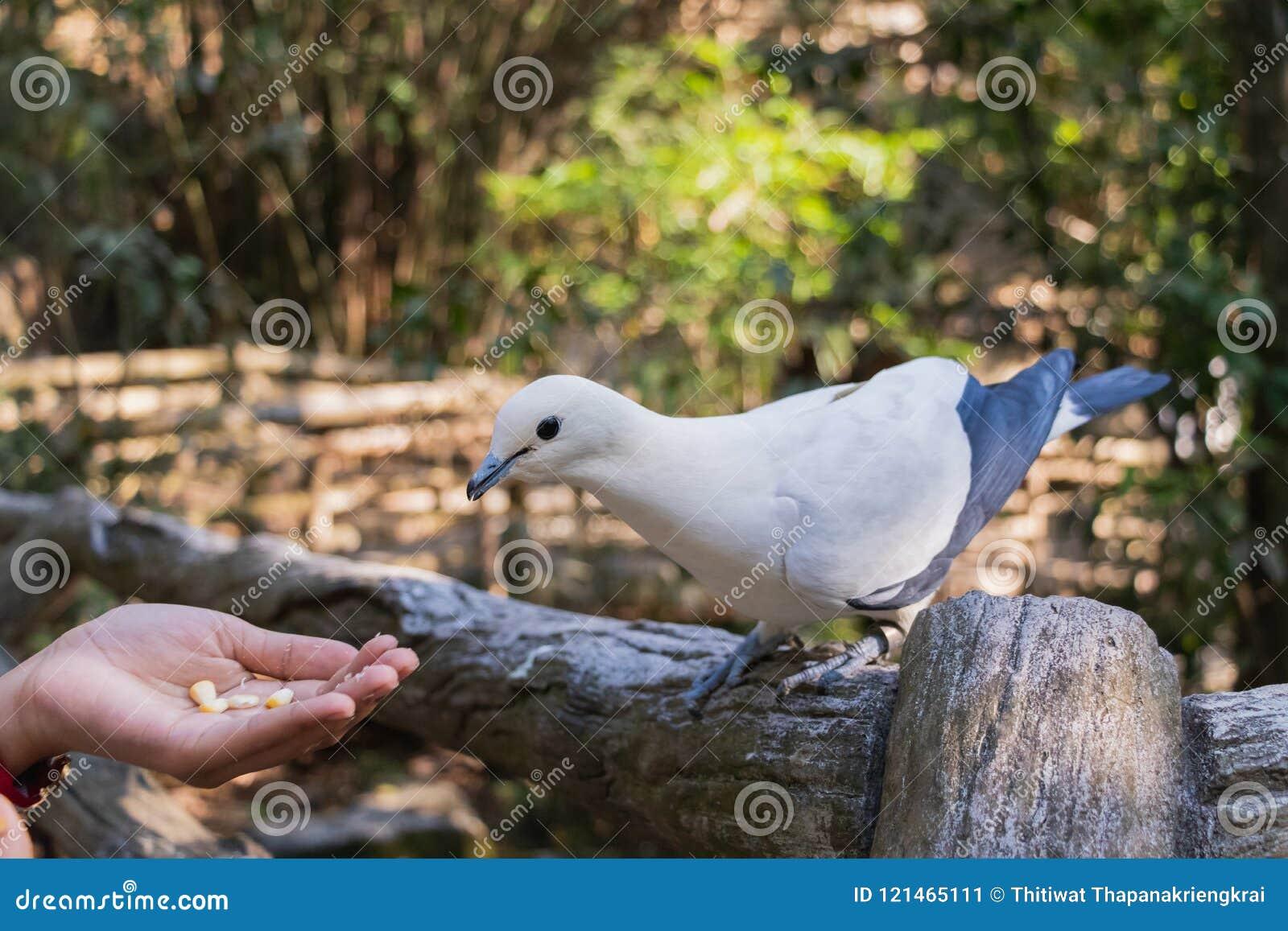 Le pigeon impérial pie Ducula bicolore se tient sur le Fe en bois