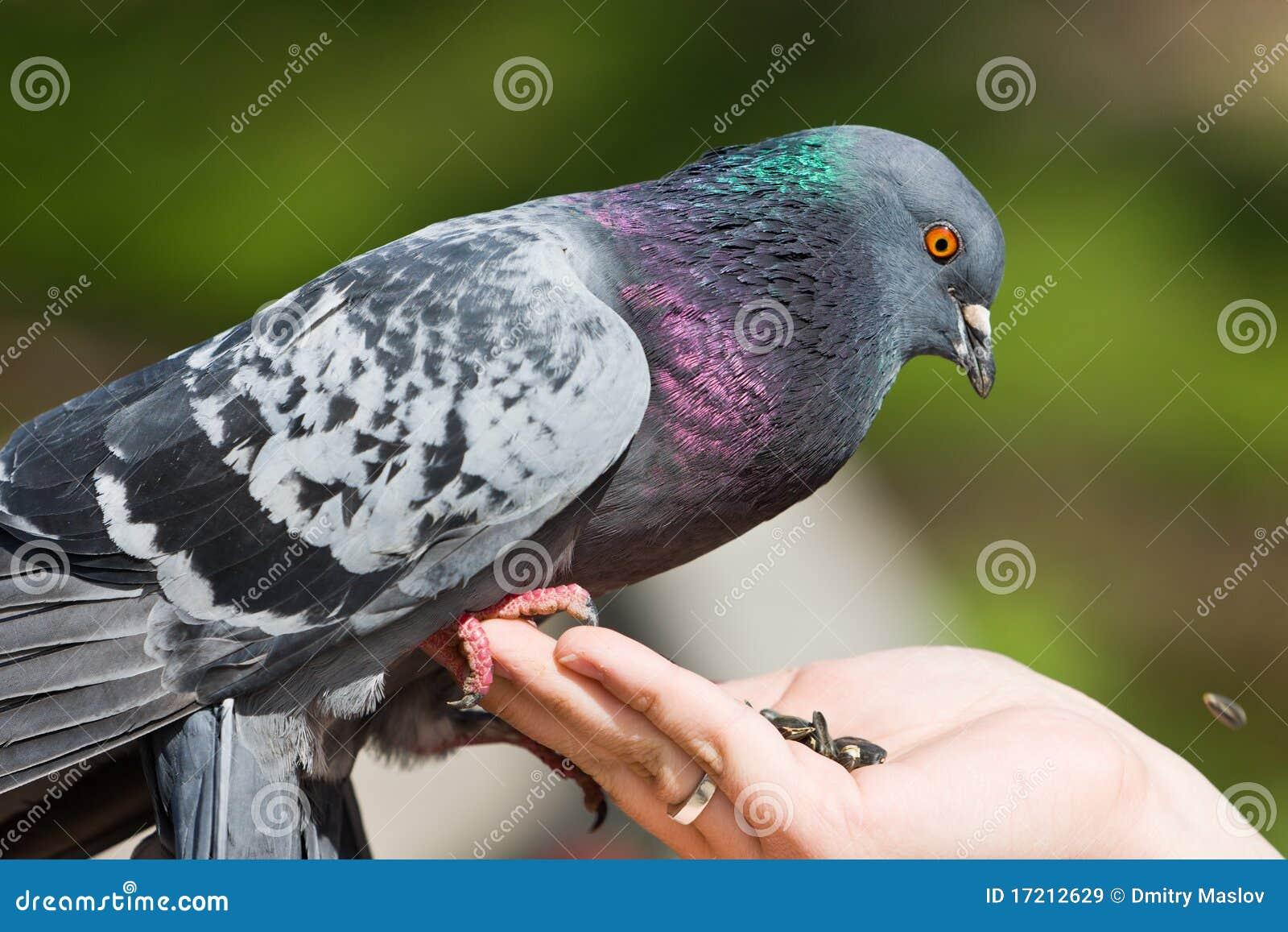 le pigeon mange des graines de tournesol images libres de droits image 17212629. Black Bedroom Furniture Sets. Home Design Ideas