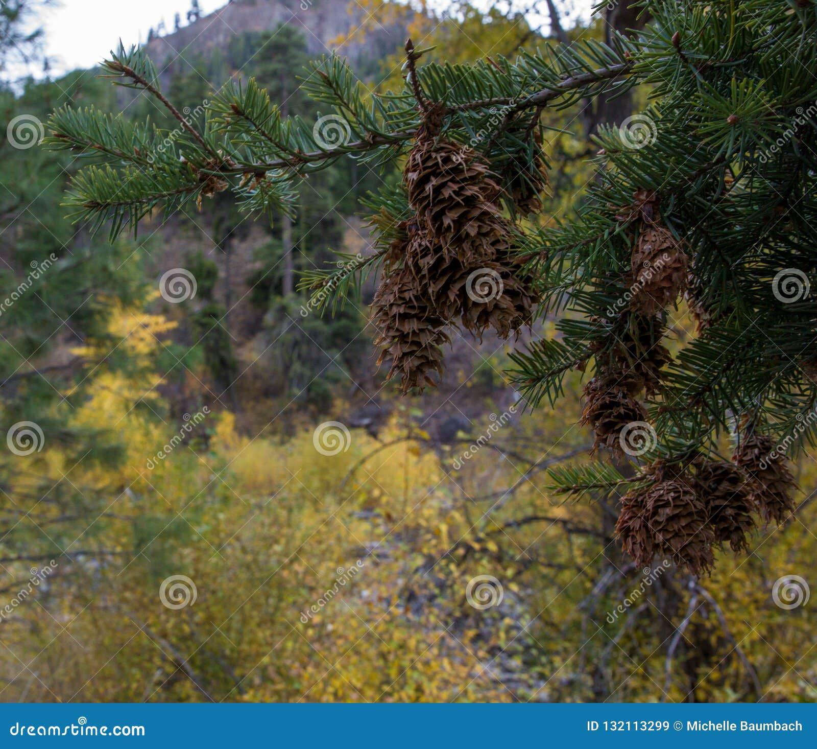Le pigne di Brown pendono da un albero sempreverde in un area boscosa