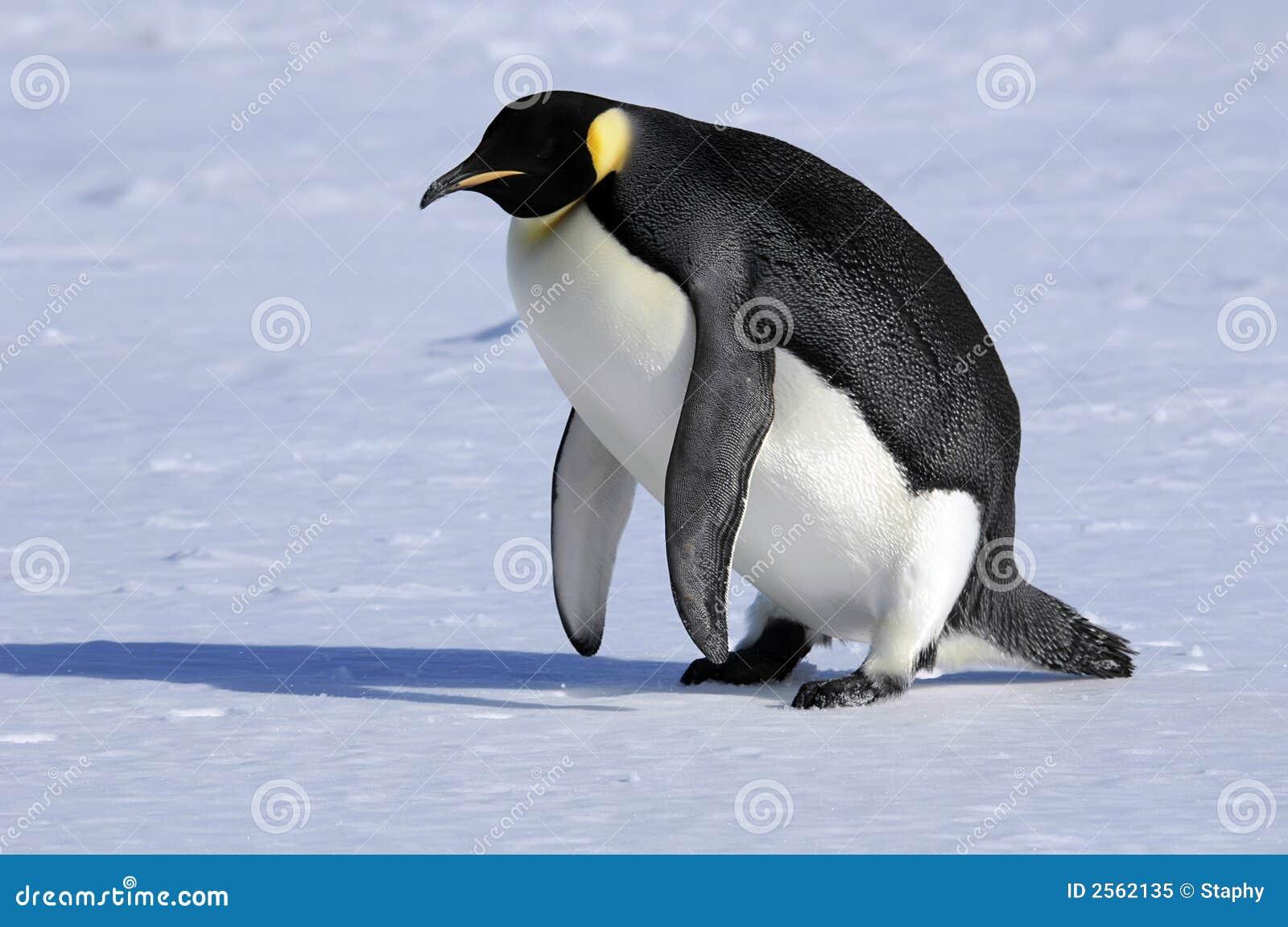 le pingouin d 39 empereur se l ve photo libre de droits. Black Bedroom Furniture Sets. Home Design Ideas