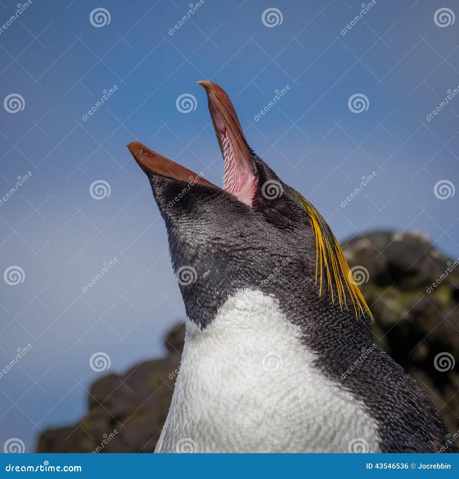 Le pingouin de macaronis crie et montre l 39 int rieur de for Interieur de la bouche
