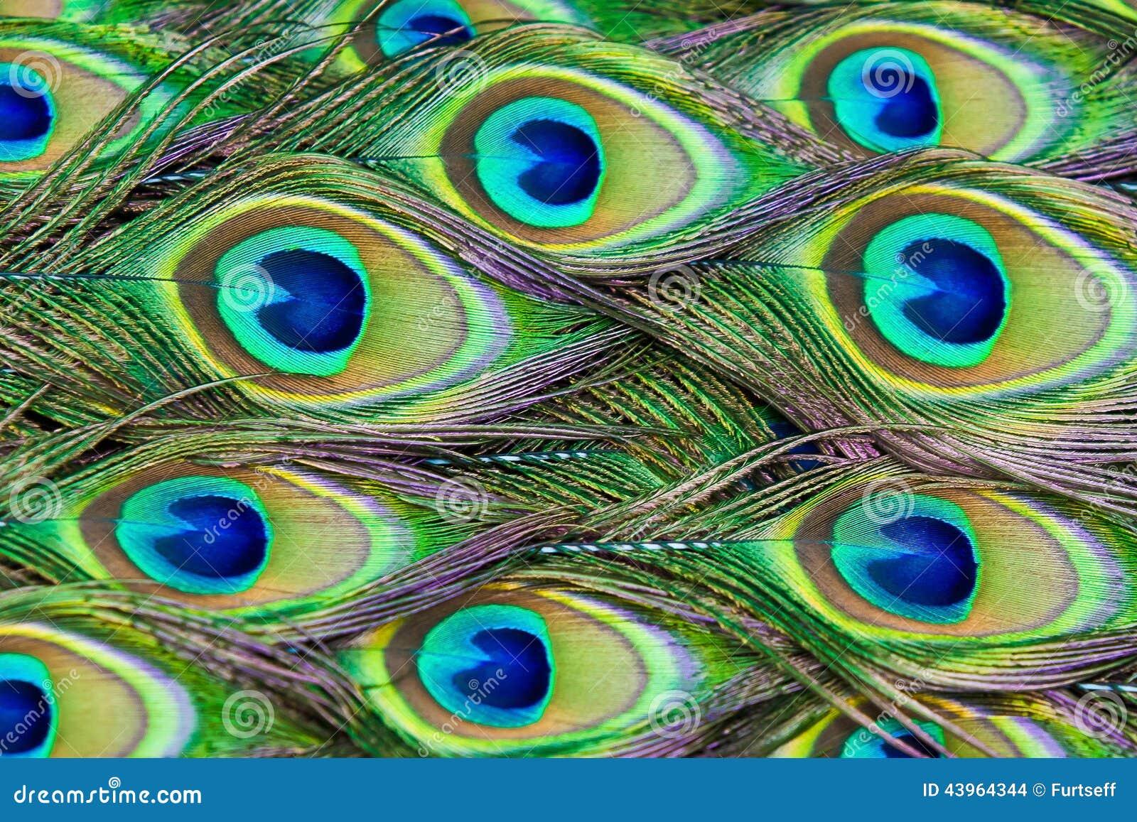Le piume del pavone