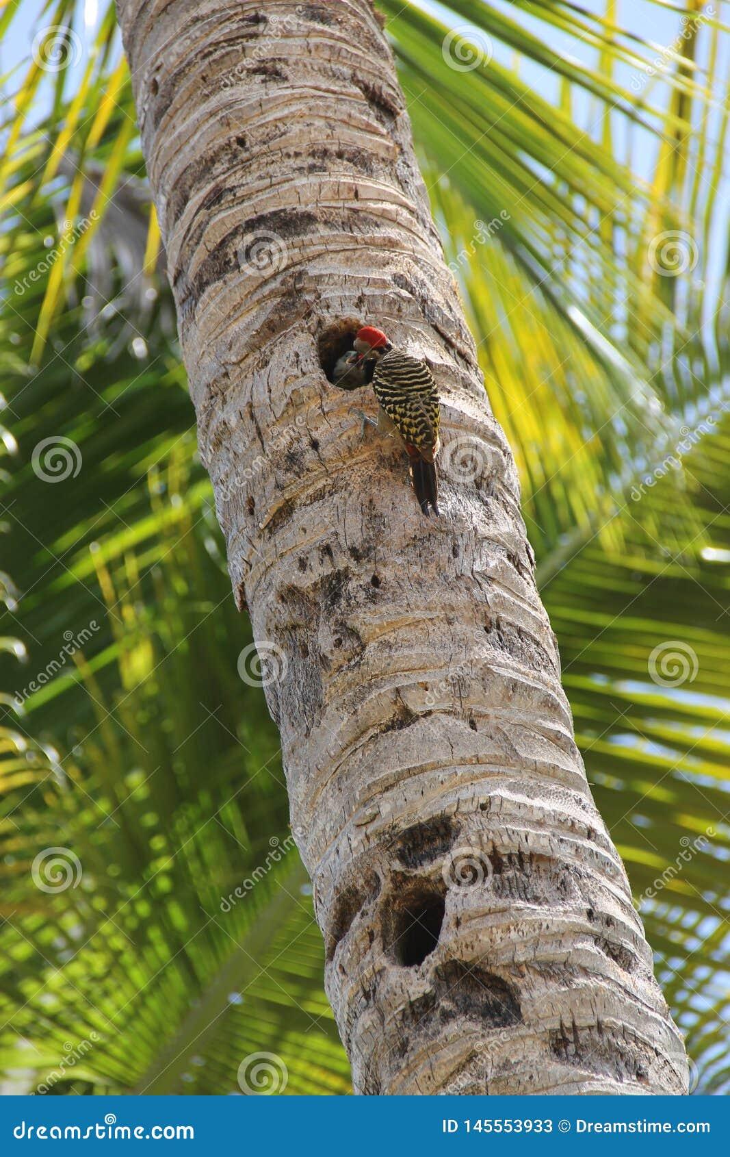 Le pivert alimente l oisillon sur un palmier