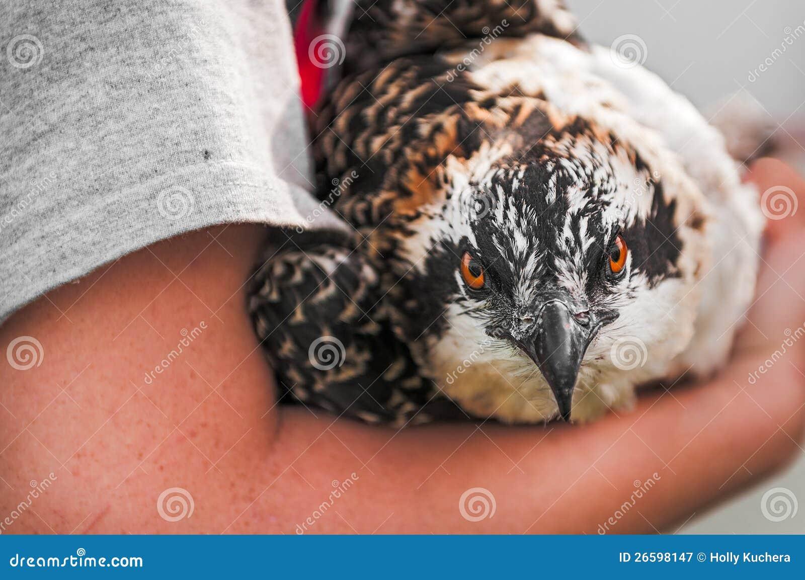 Le plan rapproché de l Osprey s est retenu dans des bras du naturaliste