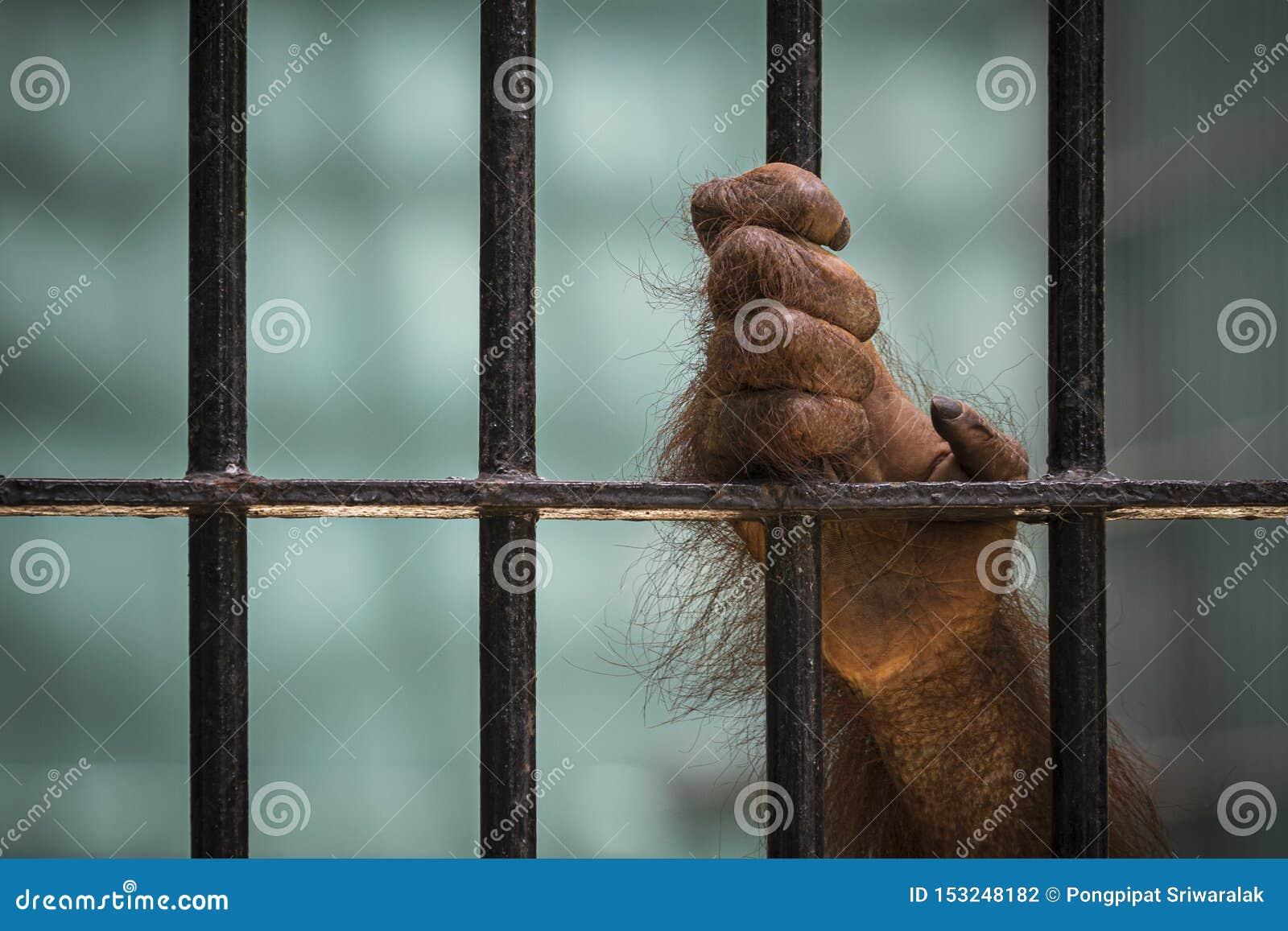 Le plan rapproché de la main de l orang-outan montent la cage