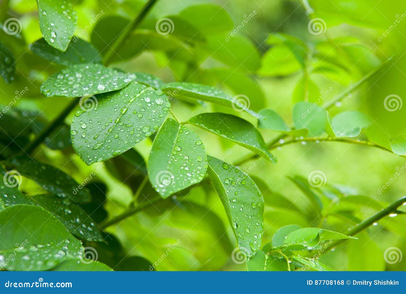 Le plan rapproché du feuillage vert frais avec de l eau se laisse tomber après pluie