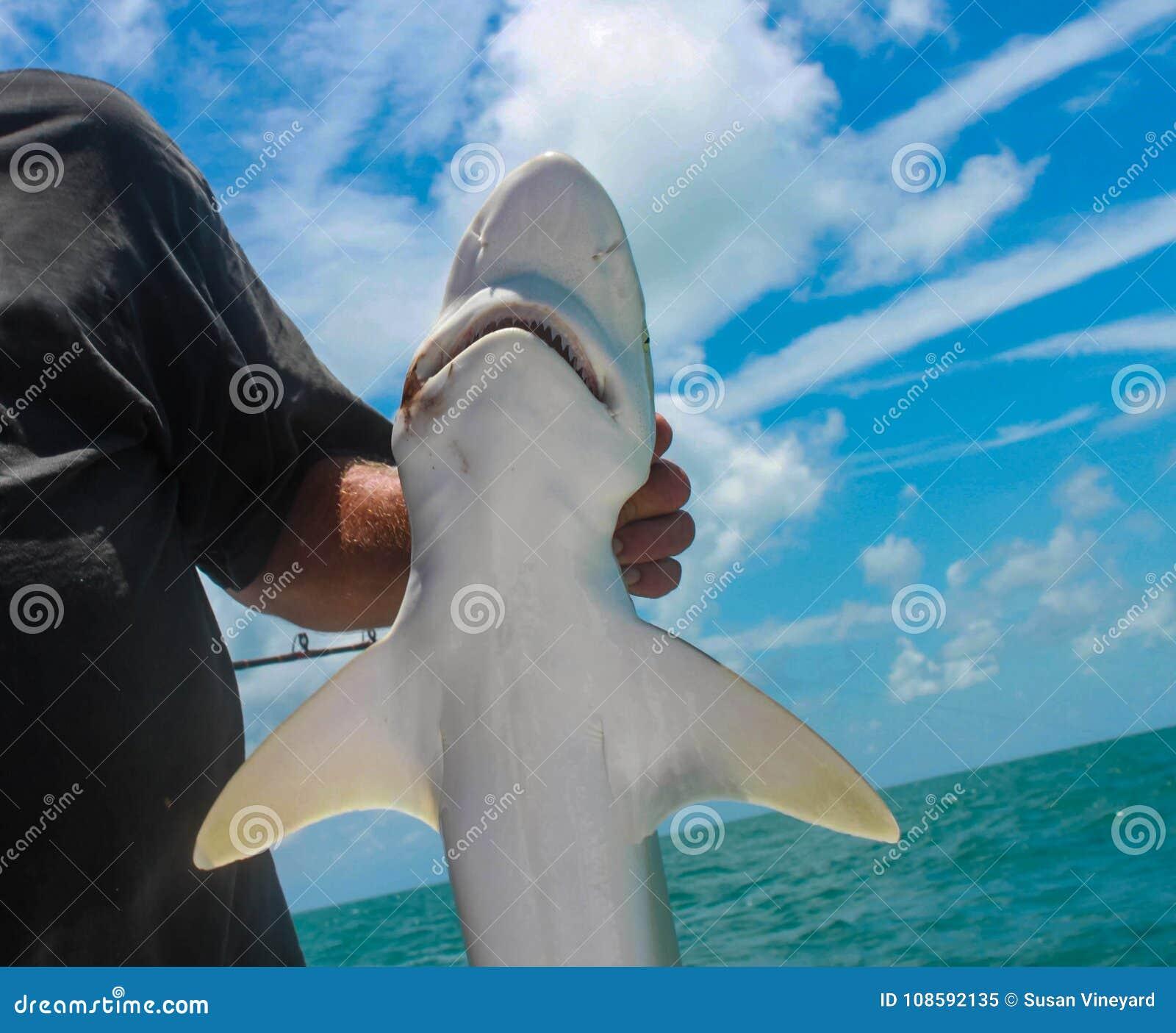 Le plan rapproché du petit requin s est tenu par le pêcheur sur le bateau profond de pêche maritime