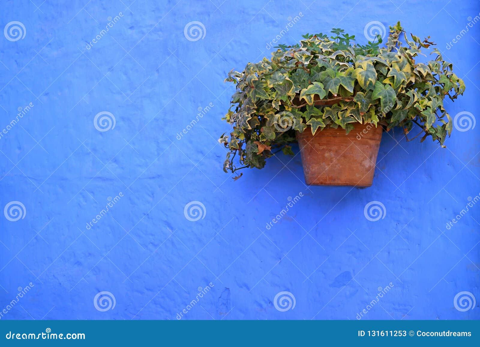 Le planteur de terre cuite des usines algériennes vertes de lierre sur le bleu vibrant a coloré le vieux mur rugueux