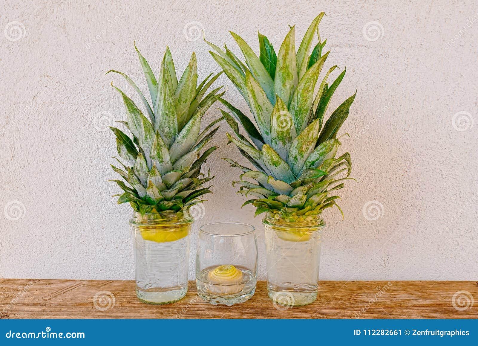 Le plantule della cipolla e dell ananas che crescono in barattoli di vetro sullo scaffale e sullo stucco di legno rustici murano