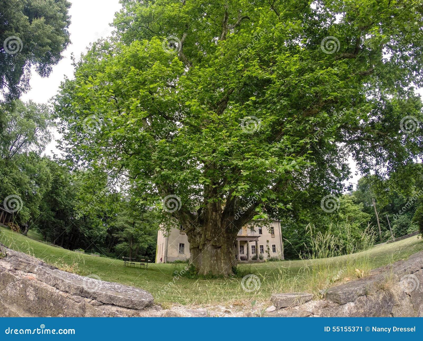le plus grand arbre de platane de l'europe image stock - image du