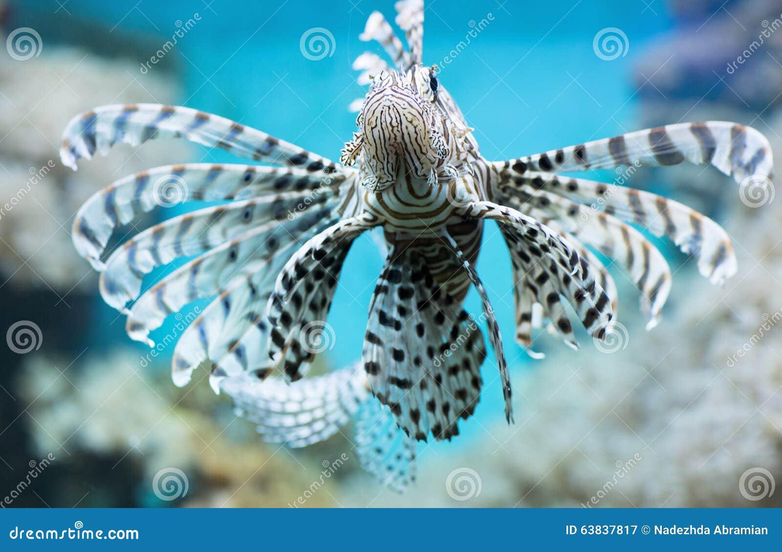 Arrêtons de parler de zèbres, merci. - Page 2 Le-poisson-nage-dans-l-aquarium-zbre-ailes-63837817