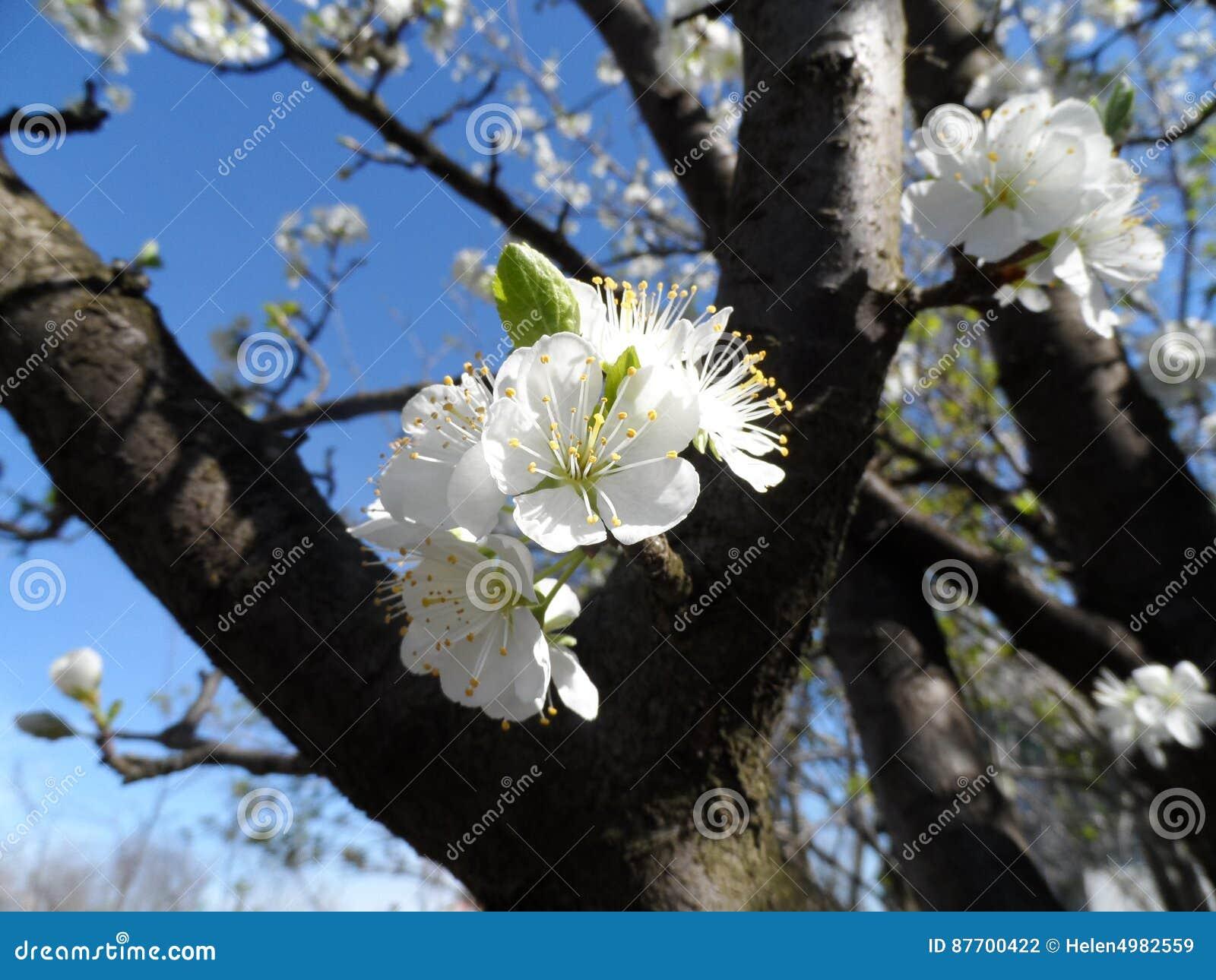 Le pommier a entièrement fleuri