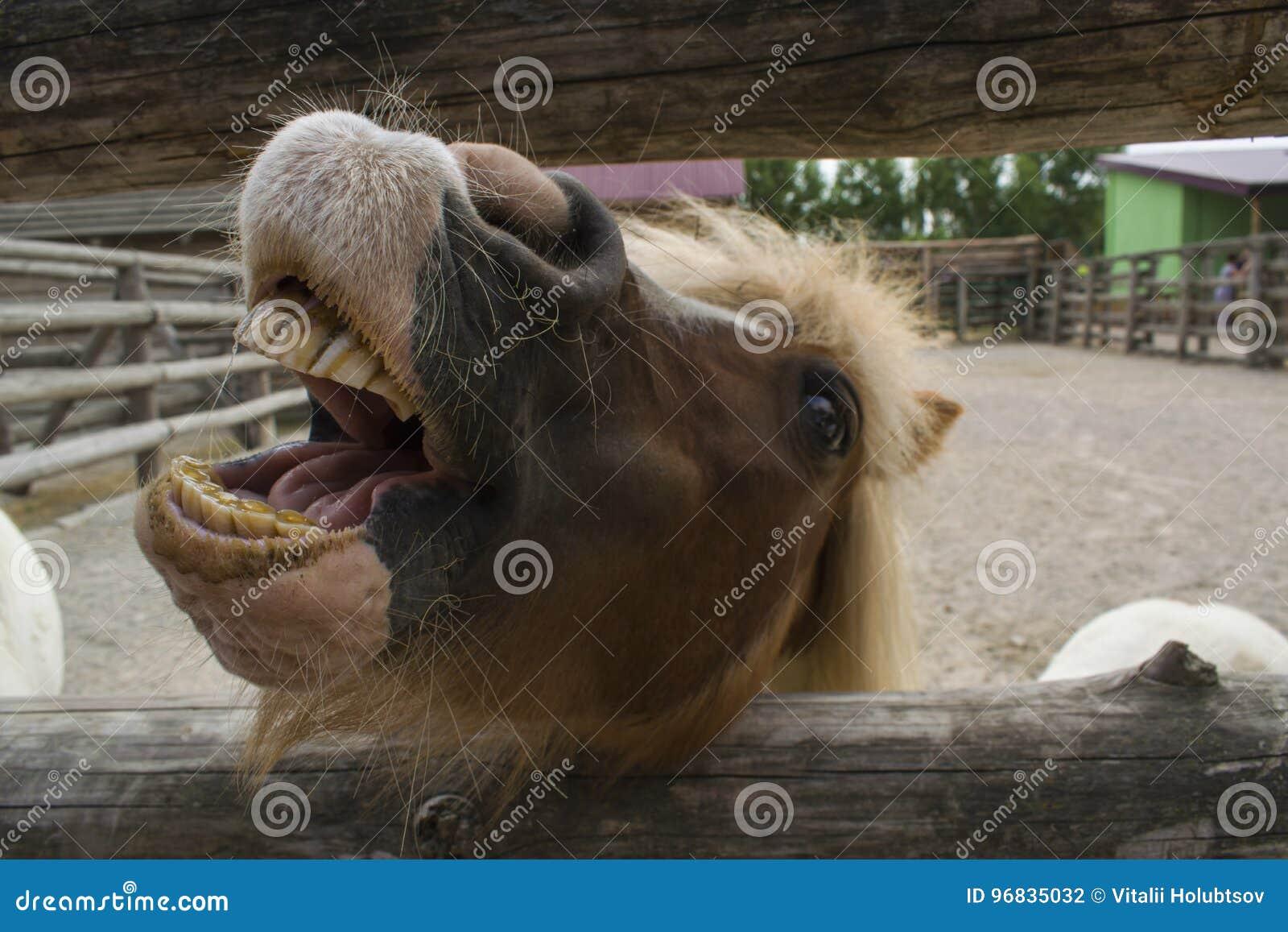 Le poney montre des dents