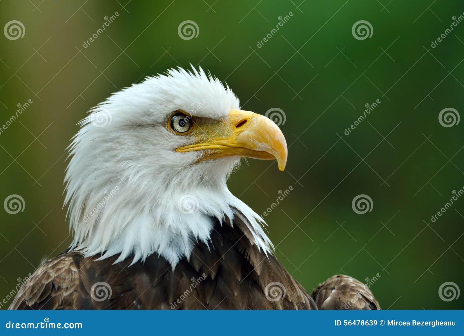 Le portrait d Eagle chauve (leucocephalus de Haliaeetus)