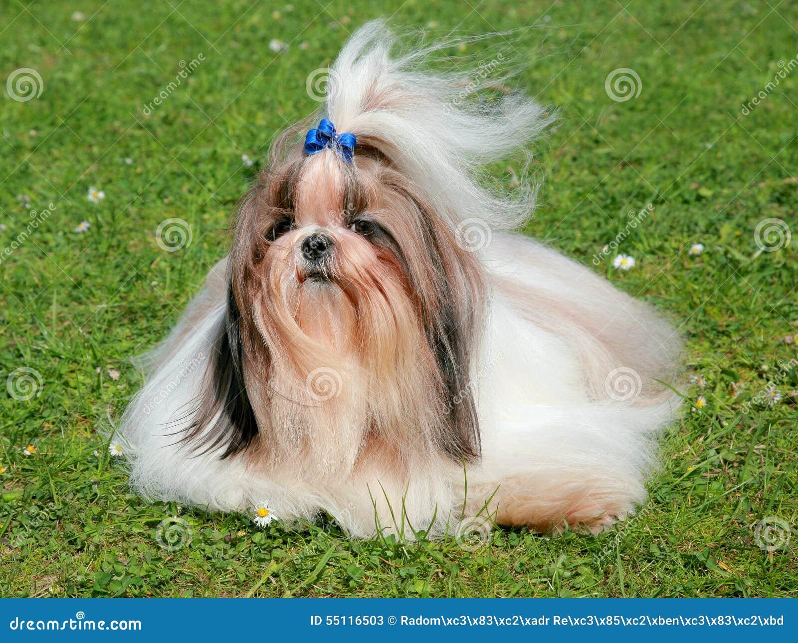 le portrait du chien dr le de tzu de shih image stock image 55116503. Black Bedroom Furniture Sets. Home Design Ideas
