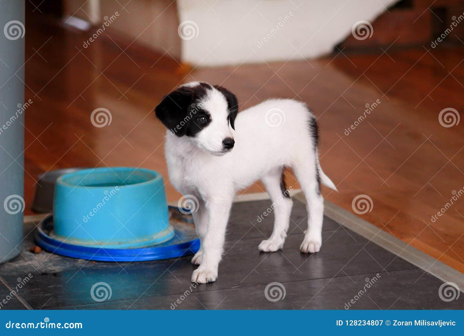Le portrait du chien femelle de petit chiot pose pour la séance photos, fin  Petite race mélangée, chiots adorables et chiens hyb
